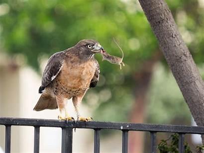 Hawk Safeway Mouse Wallpapers Pets Safe Birds