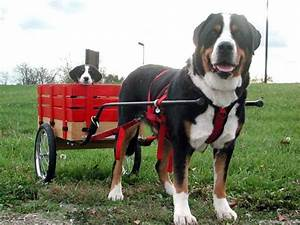 Greater Swiss Mountain Dog Dog Breed Information, Puppies ...