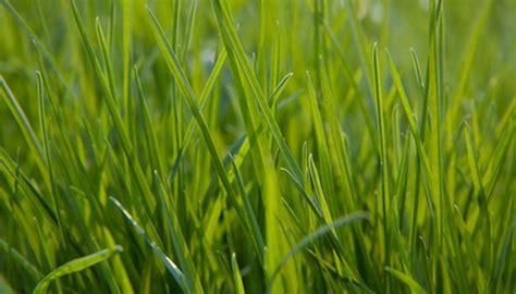 zone lawn care grass proper fotolia grasses transition garden