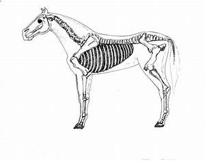 Horse Skeletal Anatomy
