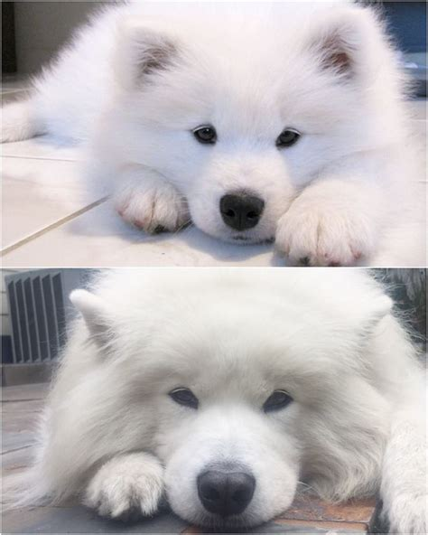 2609 Best Samoyeds Images On Pinterest Samoyed Dogs