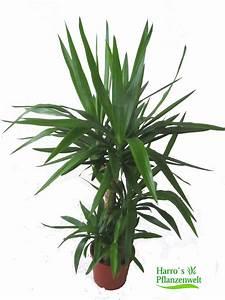 Yucca Palme Garten : yucca palme pflege eine yucca palme ist ideal fr den ~ Lizthompson.info Haus und Dekorationen