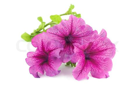 bouquet  purple petunias isolated  white stock