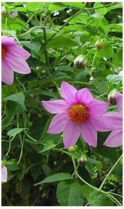 Dalia Tenuicaulis Beautiful Pink Flowers Hd Desktop ...