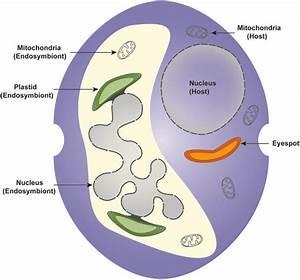 U2014schematic Representation Of A Dinotom Cell  The Host