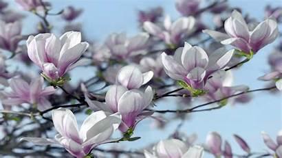 Magnolia Wallpapers13 Desktop Wallpapers