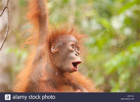 a baby orangutan smiling with stock 72080692 alamy