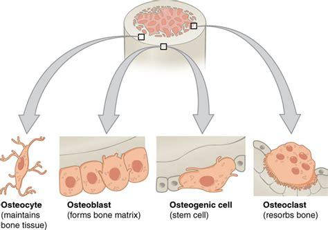 bone boundless biology