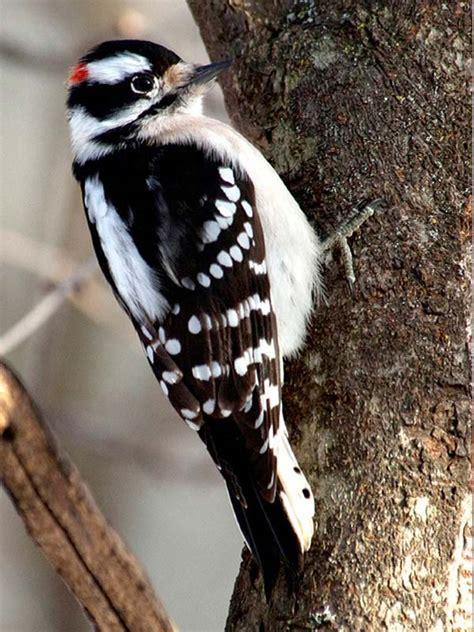 woodpecker downy chicago botanic garden