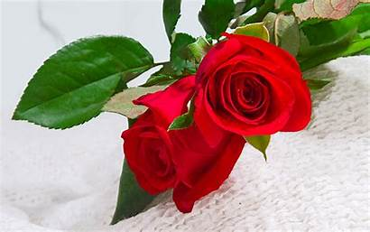 Flowers Flower Wallpapers Beauty Rose Amazing