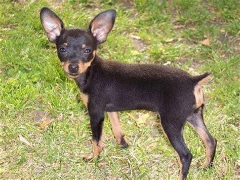prague ratter info temperament puppies pictures