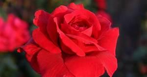 1 Rote Rose Bedeutung : rosen die 10 sch nsten roten sorten mein sch ner garten ~ Whattoseeinmadrid.com Haus und Dekorationen
