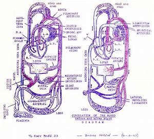 Pregnancy Circulation