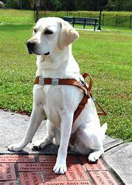 Diabetic Service Dogs Labrador