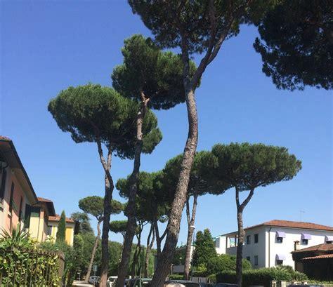 tuscan tree types tuscan tree identification gardening landscaping stack