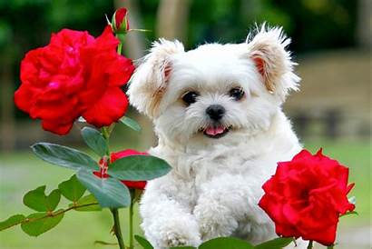 Puppies Wallpapers Desktop Puppy Dog Dogs Backgrounds