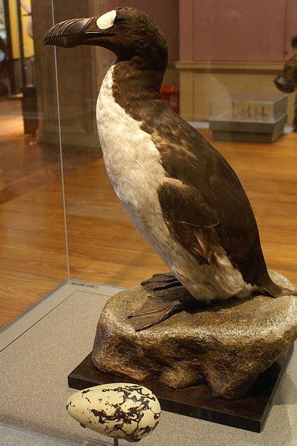 Great Auk | Extinct Animals
