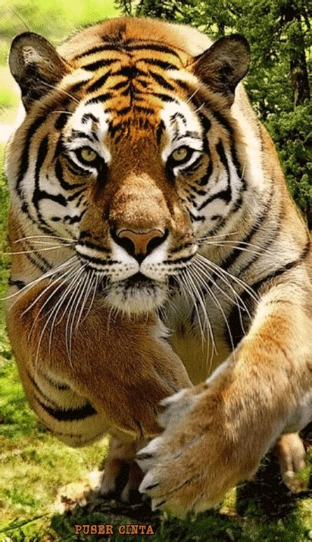 Best Tigre Animal Ideas Pinterest Ojos Del