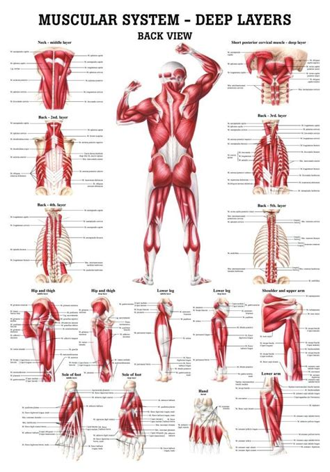 Muscular System Images 58 Best The Muscular System Images On Human