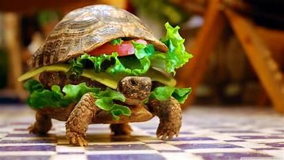 Turtle Burger Cheese Background K23 Wallpapers Desktop