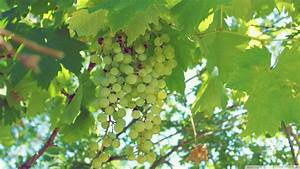 Green Grapes wallpaper - 929297