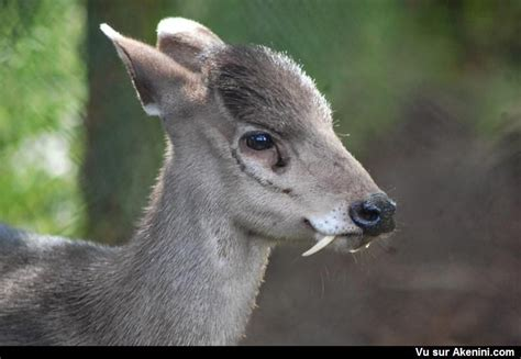 cerf huppe elaphodus cephalophus ou elaphode faune