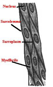 This is different from cardiac muscle tissue, which develops into an as you look at this diagram of a smooth muscle fiber, you'll notice the single nucleus in the center. Human Body: Lesson Six: Muscular System (Part Two)