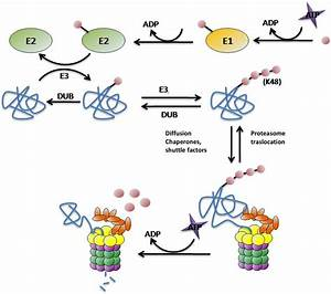 Protein Targeting And Degradation By The Ups  E1  E2  E3