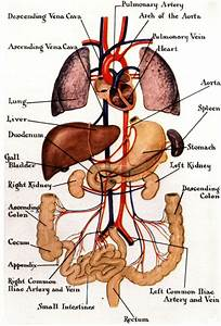 Human Internal Organ Anatomy Gross View