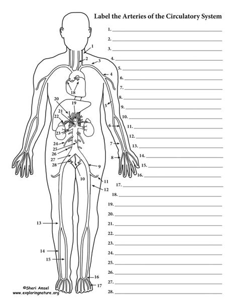 Does not form part of the actual practical class based upon the virtual slides. Blood Vessels Labeling (Circulatory System - Advanced)