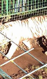 White tiger   Wildlife park, Wildlife, White tiger