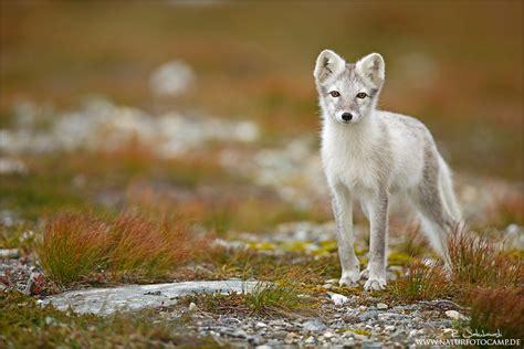 polarfuchs forum fuer naturfotografen