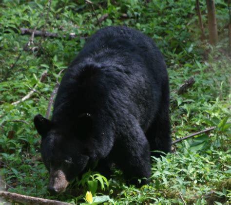 safety  bear country cumberland gap national