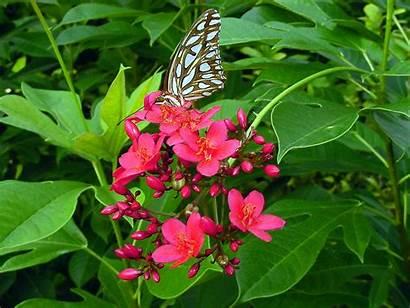 Jatropha Plant Flower Common Plants Spicy Integerrima