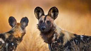 African Wild Dogs HD Wallpaper | Background Image ...