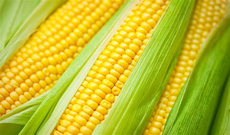 Maize seed - AGRICO
