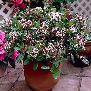 Plantes à Feuillage Persistant : viburnum tinus gwenllian laurier tin jeune plante en godet ~ Premium-room.com Idées de Décoration