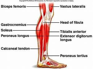 Lower Limb Muscles Labeled