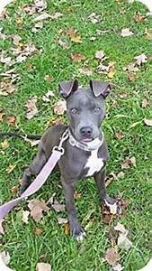 female gr brindle pit bull and whippet mix | Dogs ...