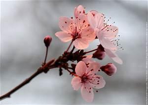 Fleur De Cerisier Signification : dessin fleur de cerisier japonais du japon et des fleurs ~ Melissatoandfro.com Idées de Décoration