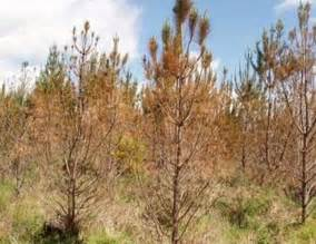 christmas tree turning brown trees attack from blight that is hitting up to half of all those grown in