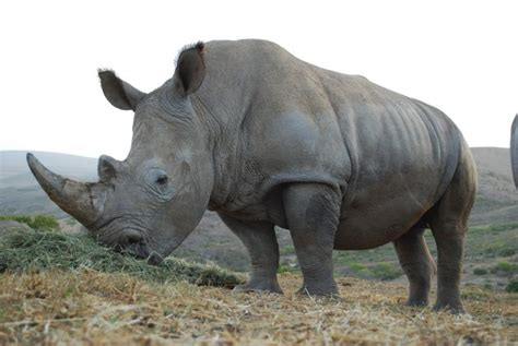 angry rhino attacks menacing toyota suv  namibia