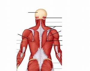 Posterior Neck Muscles Anatomy
