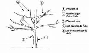 Wann Apfelbaum Pflanzen : baumschnitt geh lzschnitt tabelle wann man welchen ~ Lizthompson.info Haus und Dekorationen