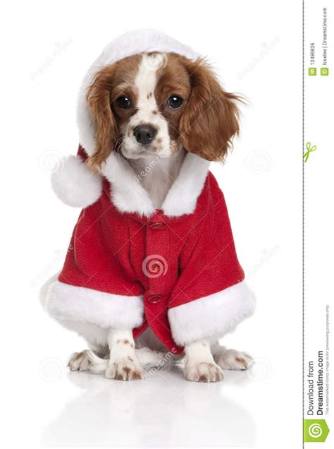springer spaniel coat shedding cavalier king charles spaniel in santa coat royalty free