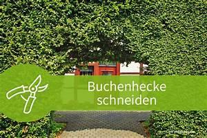 Pflanzen Schneiden Kalender : buchenhecke schneiden anleitungen f r den sommer und winterschnitt ~ Orissabook.com Haus und Dekorationen