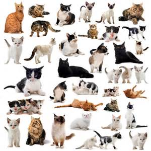how many breeds of cats are there tipos de gatos tipos de