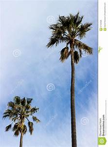 Wind Blown Palm Trees Stock Photo - Image: 57153426