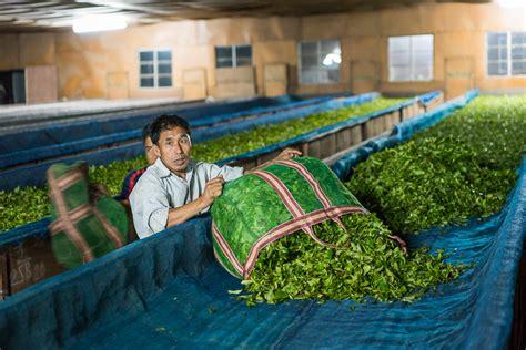 Skaties.lv: Where does the real tea grow?