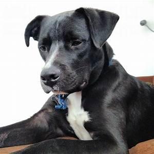 Pitbull / Lab mix Wallpaper | Wallpaper Art Models | dogs ...